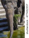closeup asian elephant eating... | Shutterstock . vector #477452557