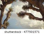 Spiny Joshua Tree Branches...