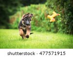Stock photo happy german shepherd puppy playing with a toy 477571915