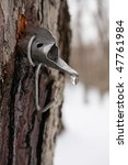 Maple Sap Droplet Flowing From...