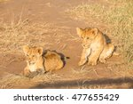 Playing Lion Cubs