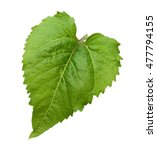 Green Leaf Of Sunflower