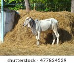 Small photo of The cow and straw ,cattle breeders ,Insemination of cattle breeders.The cattle in the countryside.
