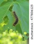 Small photo of Gypsy Moth Caterpillar munching on a maple leaf in East Haddam, CT. Explosion of caterpillar population around the SE New England area has affected one hundred eighty thousand acres of trees in 2016.