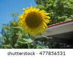 immature sunflower in early... | Shutterstock . vector #477856531