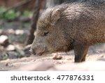 collard peccary from... | Shutterstock . vector #477876331