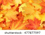 Colorful Autumn Maple Leaves As ...