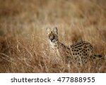 Serval Wild Cat In The Savanna...