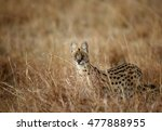 serval wild cat in the savannah ... | Shutterstock . vector #477888955