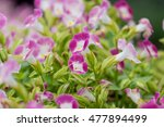 pink begonia flowers in the...   Shutterstock . vector #477894499