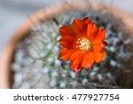 Orange Cactus Flower. Cactus...