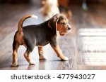 Stock photo beagle puppy playing at home on a hardwood floor place for text 477943027