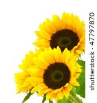 Three Sunflowers Isolated On A...