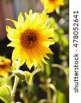 bright sunflower  outdoors | Shutterstock . vector #478052641