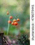 Berries Of A Lily Of The Valley