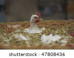Lone chicken poking its head out of a basket in the poultry market in the Chowringhee area of Calcutta, West Bengal, India
