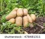 freshly grown garden potatoes. | Shutterstock . vector #478481311