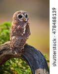 Small photo of Vertical photo of isolated, African wood owl, Strix woodfordii perched on trunk. Smaller colourful owl, staring at camera. Close up photo. Drakensberg, South Africa.