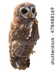 Small photo of Vertical photo of African wood owl, Strix woodfordii, isolated on white background. Smaller colourful owl, staring at camera. Close up photo. Drakensberg, South Africa.