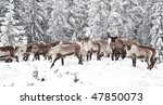 Reindeer In Its Natural...