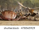 White Backed Vultures Feasting...