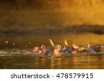 Oxpeckers Sitting On Hippos In...