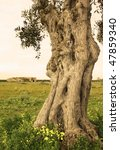 Ancient olive trunk - stock photo