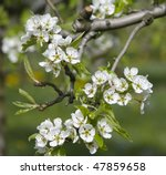 Some Blossom Of A Pear Tree