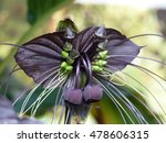 Small photo of Tacca chantrieri, the black bat flower, is a species of flowering plant in the yam family Dioscoreaceae.