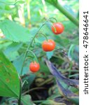 Lily Of The Valley Berries In...