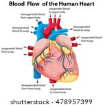 diagram showing blood flow in... | Shutterstock .eps vector #478957399