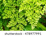 Small photo of Macro of adiantum philippense or maidenhair fern growing in garden