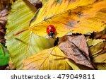 Ladybug On The Fallen Yellow...