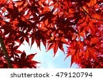 leaf of the maple which turns... | Shutterstock . vector #479120794