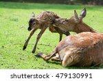 Red Deer Doe   Cervus Elaphus ...