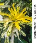 Garden Croton  Codiaeum...