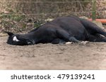 Horse With Colic Laying On Sid...