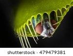 Venus Flytrap   Dionaea...