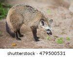 bat eared fox | Shutterstock . vector #479500531