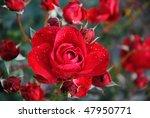 Stock photo garden roses 47950771