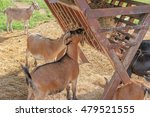 goats eating hay on the farm | Shutterstock . vector #479521555