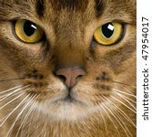 Close Up Of A Abyssinian  9...