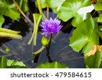 closeup blooming blue and light ...   Shutterstock . vector #479584615