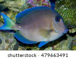 Small photo of Atlantic Blue Tang, Acanthurus coeruleus, also called Caribbean Blue Tang, a surgeon fish