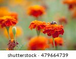 bumblebee sitting on a bright... | Shutterstock . vector #479664739
