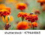 bumblebee sitting on a bright... | Shutterstock . vector #479664865