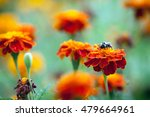 bumblebee sitting on a bright... | Shutterstock . vector #479664961