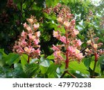 Small photo of Pink Horse-chestnut blossoms in spring bloom. Other common name is Red horse-chestnut. Latin name: Aesculus x carnea Hayne 'Briotii'?. Blooms in spring with deep rosy pyramid-shape flowers.
