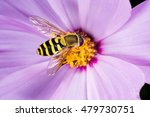 Hoverfly  Flower Fly  Syrphid...