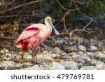 Small photo of Roseate Spoonbill on rocky shoreline at Alafia Banks